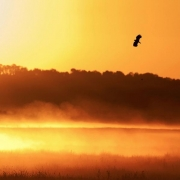 Lapwing displaying at sunrise