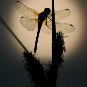 Common Darter dragonfly at sunrise