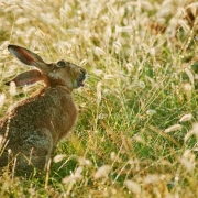Hare feeding on dewy grass