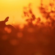 Rabbit at sunset