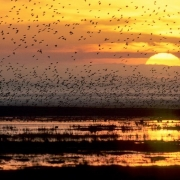 Lapwing flock at sunrise