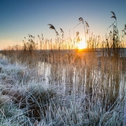 Winter reedbed
