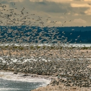 Dunlin and knot roosting
