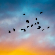 Lapwing flock at sunset