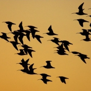 Curlew flying to roost