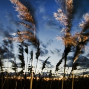 Reeds swaying at twilight