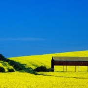 Rapeseed field and barn, Isle of Sheppey, Kent.
