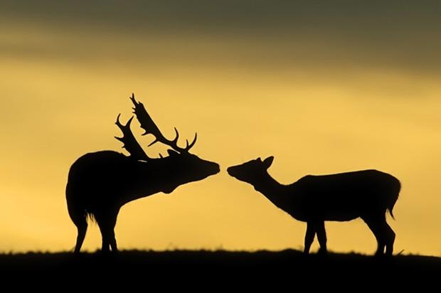 Fallow Deer Buck Greeting Doe At Sunset