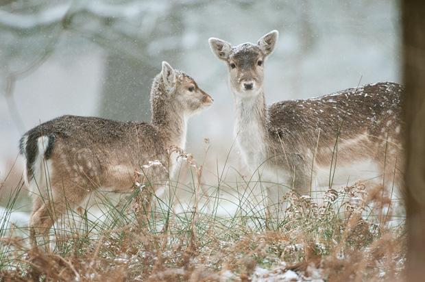 Fallow deer fawn and doe