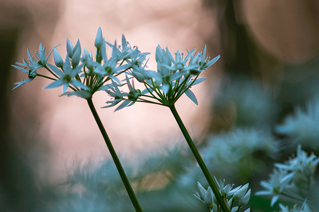 Ramsons at sunset