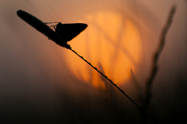 Common blue butterfly at sunrise