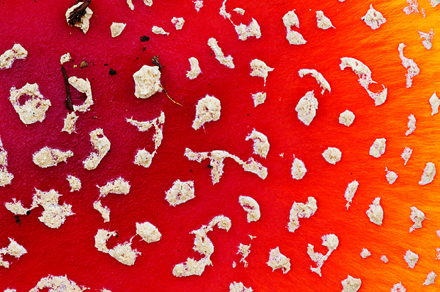 Cap of Fly agaric