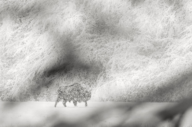 """European bison walking in heavy snowfall. Bialowieza, Poland.  Taken while co-leading a tour to photograph Europe's largest land mammal. I took a number of """"clear"""" images as it stood in the meadow and was looking for something different. And so I stepped into the forest and composed this image through branches, to give the impression of peering into the world of the bison."""