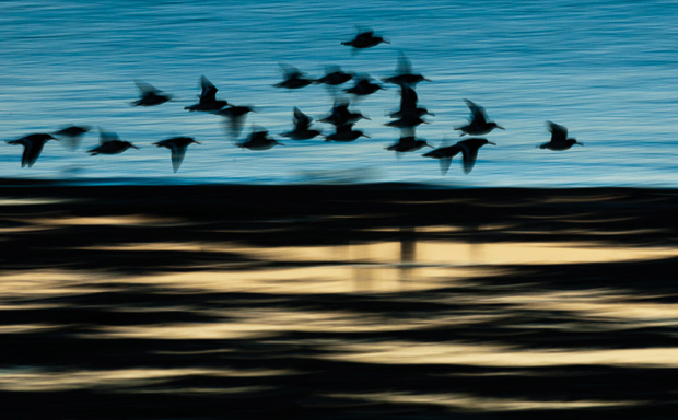 Oystercatchers in flight over the North Kent mudflats at dawn. Nikon D300, 200-400 @ 300, iso 400, 1/20 sec. f14, handheld.