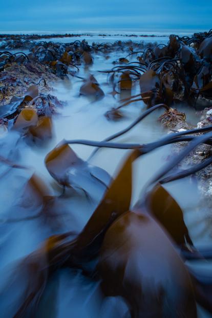 Kelp and incoming tide at dawn.   Nikon D600, 20mm f2.8, iso 100, 2.5 secs @ f16, 0.6 ND grad.