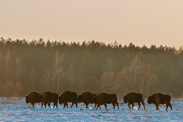 bison_bialowieza_poland_009