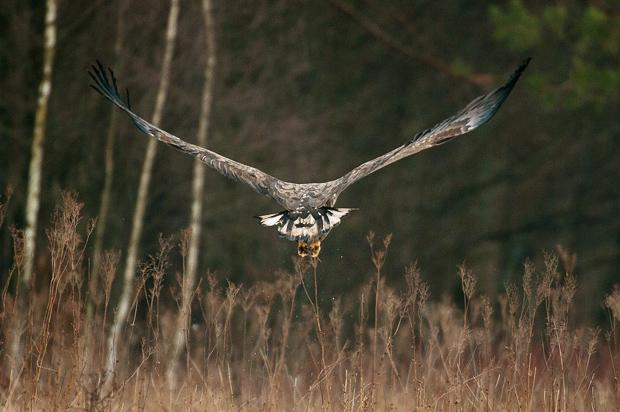 white-tailed_eagle_021