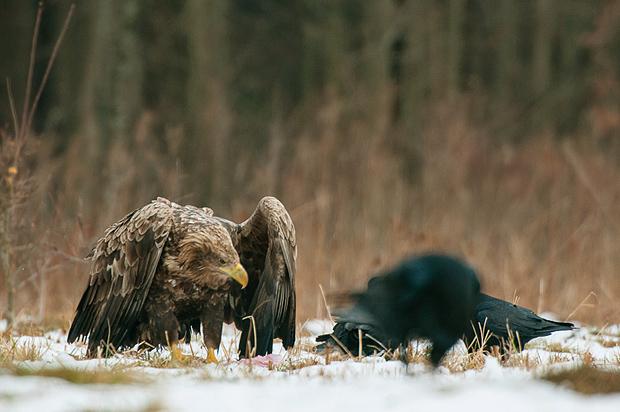 white-tailed_eagle_bialowieza_poland_001