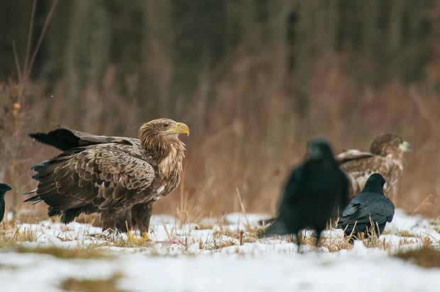 white-tailed_eagle_bialowieza_poland_002
