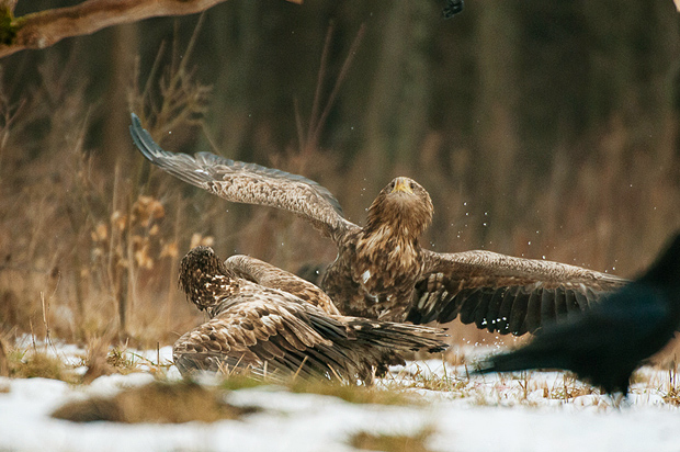 white-tailed_eagle_bialowieza_poland_003