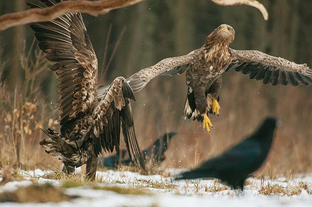 white-tailed_eagle_bialowieza_poland_004