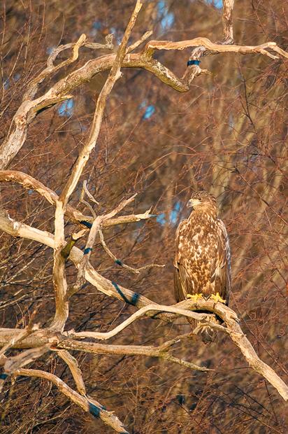 white-tailed_eagle_bialowieza_poland_006