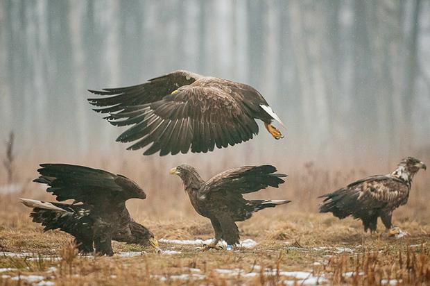 white-tailed_eagle_bialowieza_poland_008