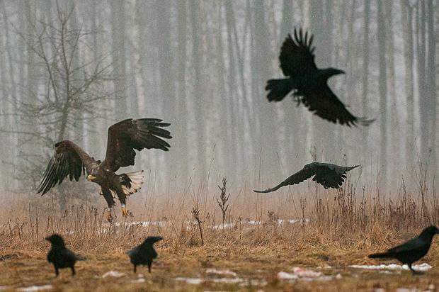 white-tailed_eagle_bialowieza_poland_013