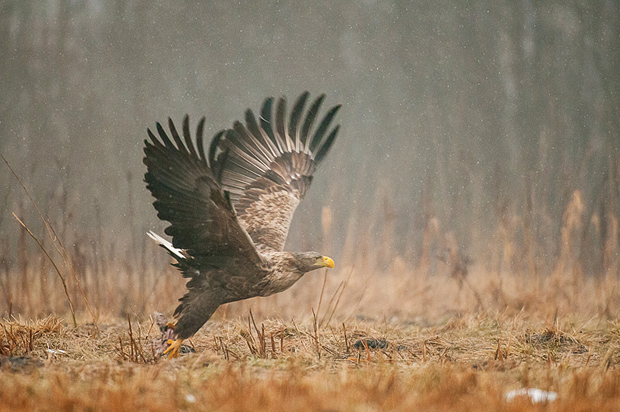 white-tailed_eagle_bialowieza_poland_016