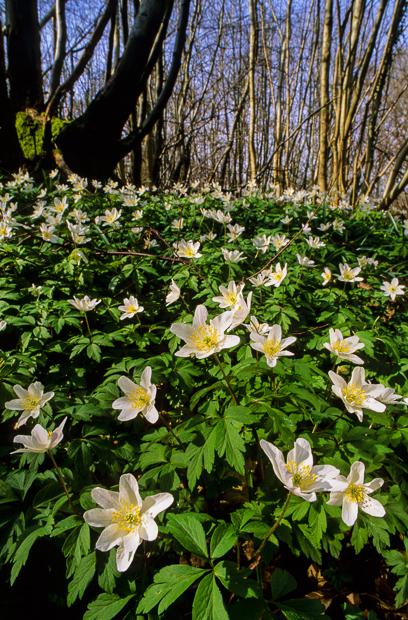 wood-anemone-kent-002a