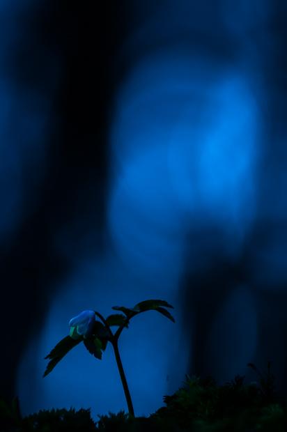 wood-anemone-kent-007