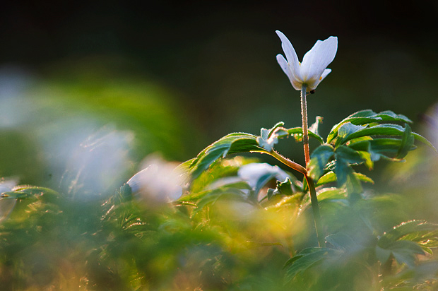 wood-anemone-kent-010a