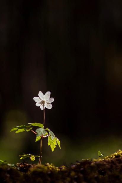 wood-anemone-kent-011a