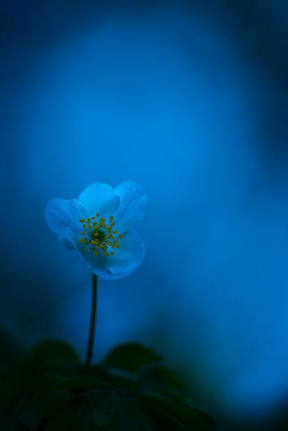 wood-anemone-kent-012