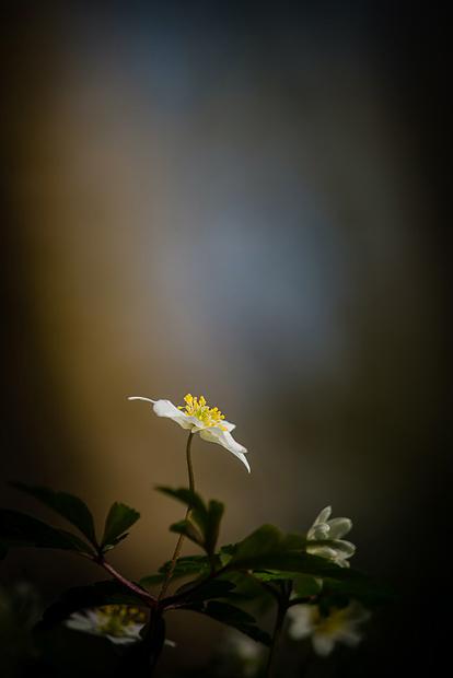 wood-anemone-kent-014