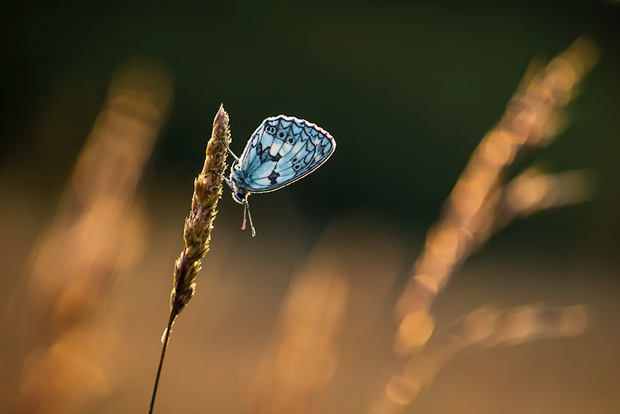 marbled_white_butterfly_6