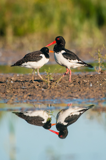 Adult oystercatcher with juvenile
