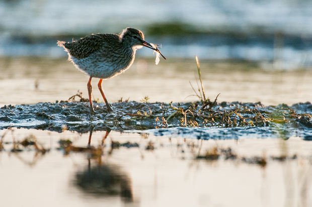 Juvenile redshank with dragonfly
