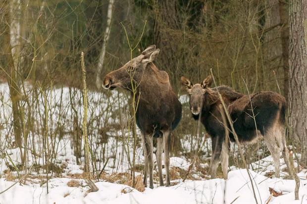 Female elk and calf