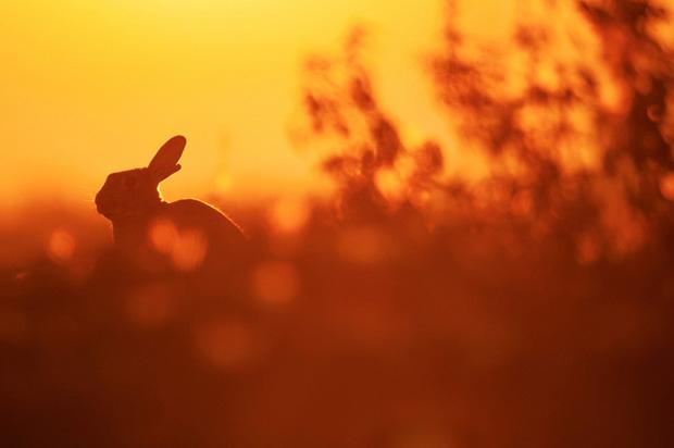 Rabbit at sunset