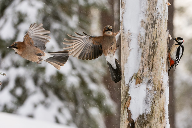 Eurasian jays and great-spotted woodpecker